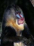 A Captive Mandrill (Papio Sphinx) Shows its Teeth in Warning Photographic Print by Tim Laman