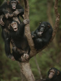Social Climbers Sound off at a Chimp Klatch in a Tree Photographic Print by Michael Nichols