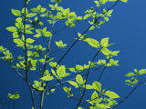 New spring foliage leafing out on a tree branch Lmina fotogrfica por Raymond Gehman