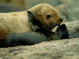 A Steller Sea Lion Cow Exchanges a Kiss with Her Pup Reprodukcja zdjęcia autor Joel Sartore