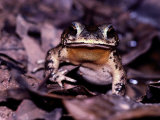 A Rain Forest Toad Photographic Print by Mattias Klum