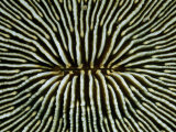 Close-View of the Intricately Patterned Exterior of a Mushroom Coral Photographic Print by Wolcott Henry