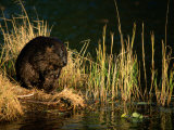 A Beaver Perches on the Waters Edge Near Quabbin Reservoir Fotografisk tryk af Tim Laman