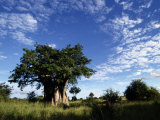 A Baobab Tree on the Savanna of Kruger National Park Photographic Print by Tim Laman