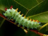 The Caterpillar of a Cecropia Moth Feeds on a Leaf Fotoprint van George Grall