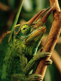 Close-up of a Jacksons Chameleon Photographic Print by Chris Johns