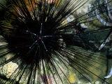 A Black Diadema Sea Urchin Photographic Print by Wolcott Henry
