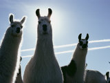 Close-up of Three Llamas Photographic Print by David Boyer