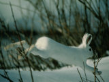 Snowshoe Hare in White Winter Fur Running in the Snow Photographic Print by Michael S.Quinton