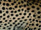 Close up of a Cheetahs Spots Photographic Print by Michael Nichols