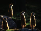A Group of Captive Meerkats Standing in the Afternoon Sun Fotoprint van Tim Laman