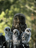 Female Great Gray Owl and Her Three Babies Impressão fotográfica por Michael S. Quinton