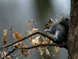 An Eastern Gray Squirrel Has a Meal in the Crotch of a Tree Photographic Print by Chris Johns