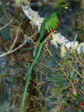 View of a Male Resplendent Quetzal (Pharomachrus Mocinno Costricensis) Photographic Print by Roy Toft