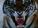 Snarling Tiger Fotoprint van Michael Nichols