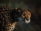 An African Cheetah Stares Intently at an Unseen Object Photographic Print by Chris Johns