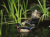 A Male Wood Duck Swims Past its Mate Perched on a Log Fotografisk tryk af Raymond Gehman