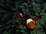 A False Clown Anemonefish Floats Through Sea Anemone Tentacles Photographie par Wolcott Henry