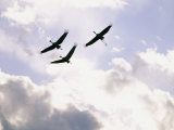 Sandhill Cranes Soar against a Cloudy Sky Photographic Print by Stephen Alvarez