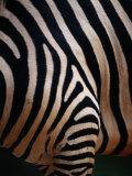 Close up of a Zebras Stripes Photographic Print by Nick Caloyianis