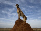 A Termite Mound Doubles as a Watchtower for an African Cheetah Photographic Print by Chris Johns