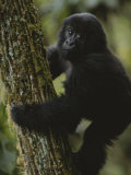 A Young Gorilla Climbs a Tree in the Virunga Mountains of Rwanda Photographic Print by Michael Nichols