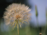 A Close View of a Dandelion Seed Head Fotografie-Druck von Heather Perry
