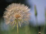 A Close View of a Dandelion Seed Head Lámina fotográfica por Perry, Heather