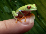 A Red-Eyed Tree Frog Small Enough to Fit on a Thumbnail Photographic Print by George Grall