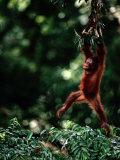 Orangutan (Pongo Pygmaeus) Photographic Print by Mattias Klum