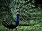 A Captive Male Peacock Displays His Feathers Photographic Print by Tim Laman