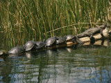 A Group of Aquatic Turtles and an American Alligator Bask on a Log Photographic Print by Raymond Gehman