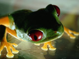 Close-up of a Red-Eyed Tree Frog Photographic Print by Paul Zahl