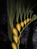 A Gliding Column of Glowing Kelp Illuminates Monterey Bay Photographic Print by Wolcott Henry