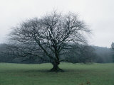 An Oak Tree at Derrybawn House in Ireland Photographic Print by Bill Curtsinger