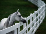 White Horse Staring over a Wooden Fence Photographic Print by Raymond Gehman