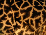 A Close View of a Giraffes Irregular Spots Photographic Print by Michael Nichols