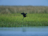 Heron in Flight Photographic Print by Stephen Alvarez
