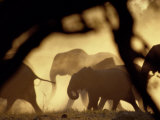 African Elephants on the Move During the Dry Season Photographic Print by Beverly Joubert