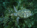 An Endangered Hawksbill Turtle Swims Along the Sea Floor Photographic Print by Brian J. Skerry