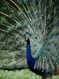 A Captive Male Peacock Displaying His Feathers Photographic Print by Tim Laman