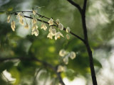 Delicate White Flowers Adorn a Tree Branch in the Spring Photographic Print by Raymond Gehman