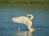 Trumpeter Swan with Young Reprodukcja zdjęcia autor Norbert Rosing