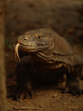A Komodo Dragon Photographic Print by Tim Laman