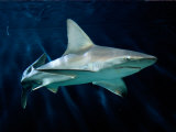 Captive Sandbar Shark Photographic Print by George Grall