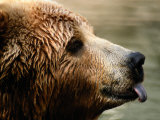 A Portrait of a Captive Kodiak Brown Bear with His Tongue Sticking Out Photographic Print by Tim Laman