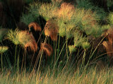 Grasses and Tassles Photographic Print by Chris Johns