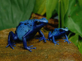 Two Sapphire-Hued Poison Dart Frogs Photographic Print by George Grall