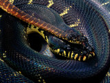 Boelens Python Photographic Print by George Grall