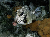 A Smooth Trunkfish Emerges from the Coral Photographic Print by Wolcott Henry